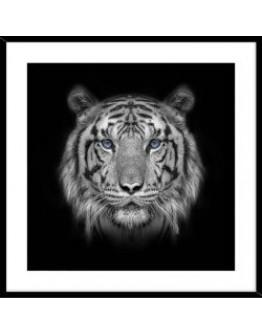 Tiger in Black Frame 50x50cm